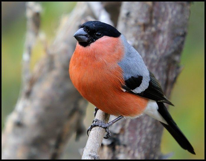 Загадки про птахів. Загадки про снігурів