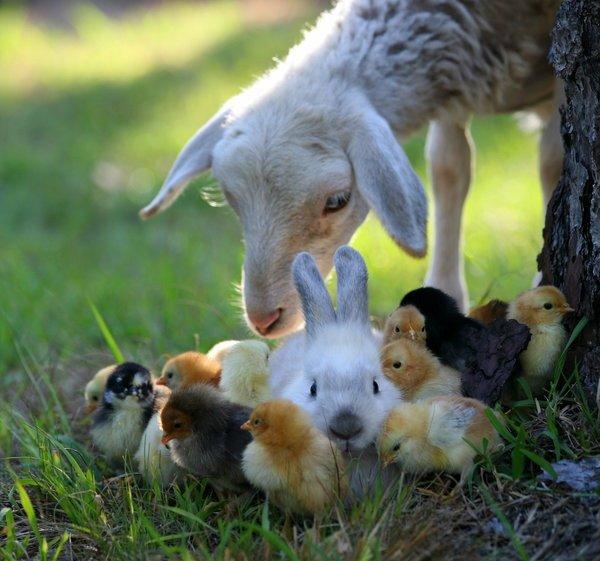 Загадки о козах и овцах