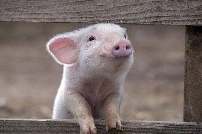 Загадки про домашніх тварин: свиня