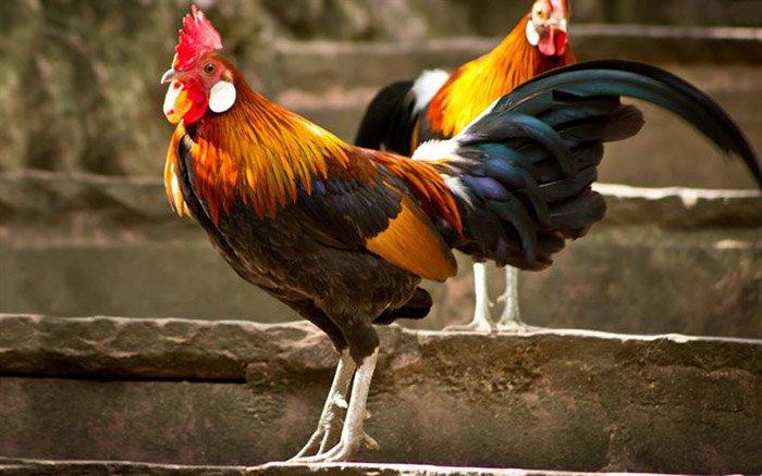 Загадки про домашніх птахів: півень