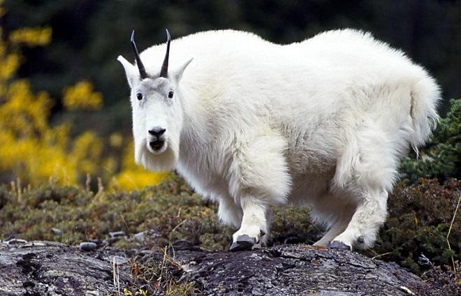 Вовк, коза і капуста: врятувати всіх!