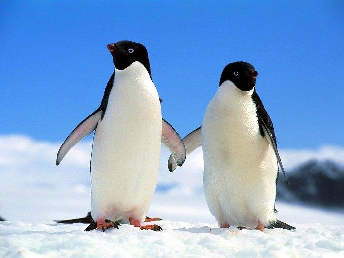 Загадки про птиц: Пингвин