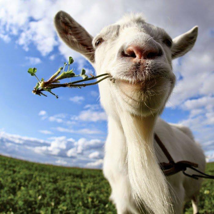 Загадки про домашніх тварин: коза