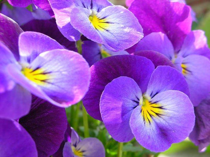 Загадки про квіти для дітей. Фіалки