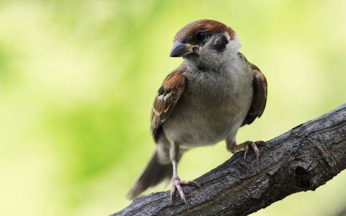 Загадки о диких птицах. Загадки о воробьях