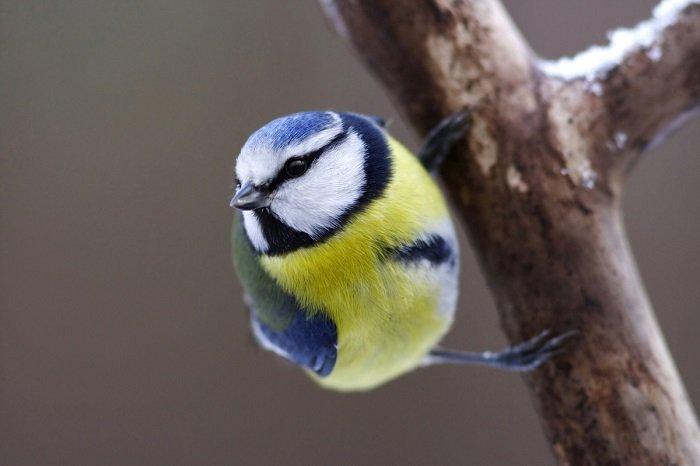 Загадки про птахів. Загадки про синичку