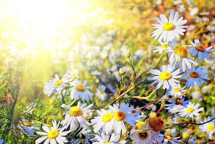 Загадки про квіти для дітей. Ромашка