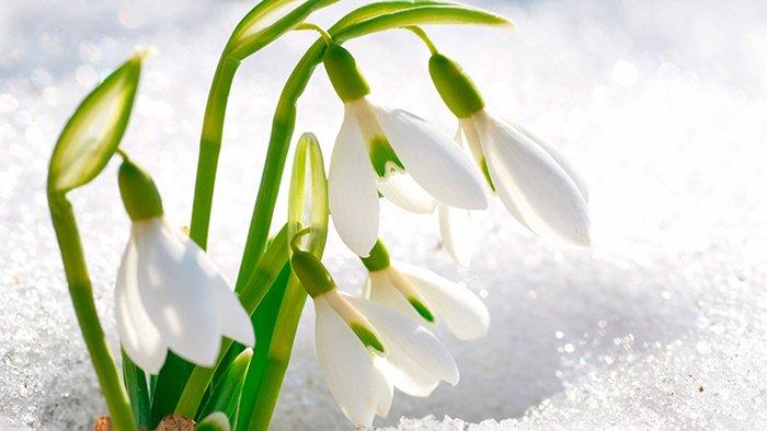 Загадки про квіти для дітей. Підсніжник