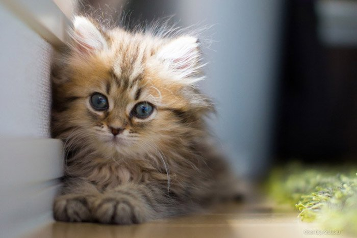 Загадки о домашних животных: кошка