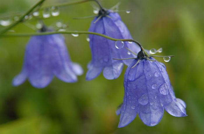 Загадки про цветы: колокольчик