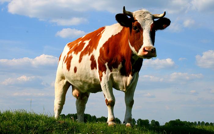 Загадка: корова