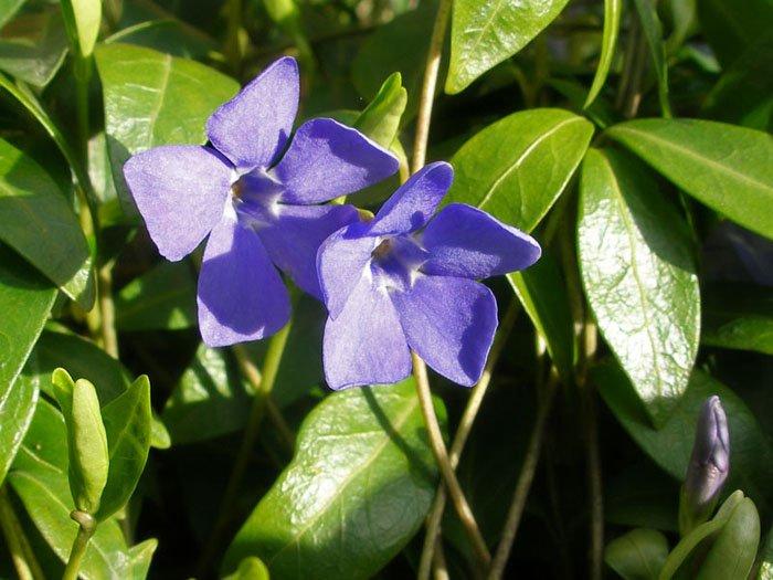 Загадки про квіти: Барвінок