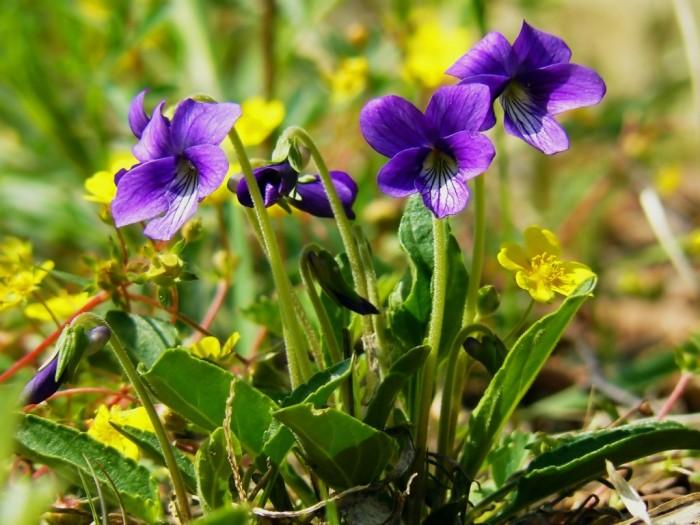 Загадки про цветы: фиалка