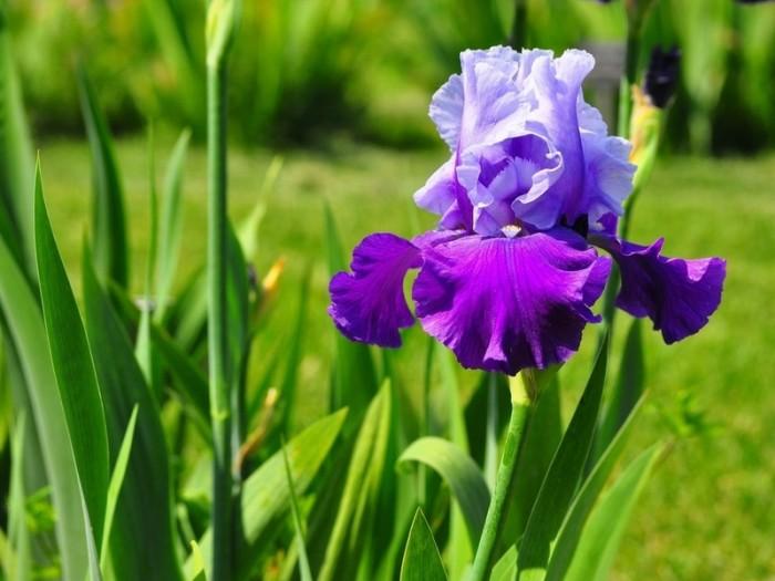 Загадки про цветы: ирис