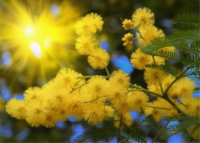 Загадки про цветы: мимоза