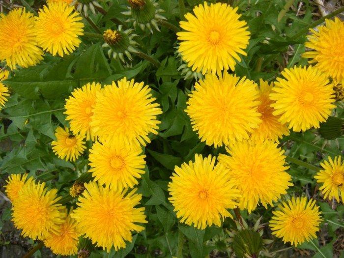 Загадки про квіти: Кульбаба