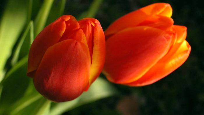 Загадка: Тюльпан