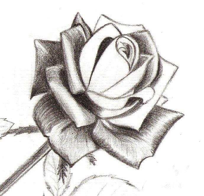 Как нарисовать розу шаг за шагом – схема, фото 13
