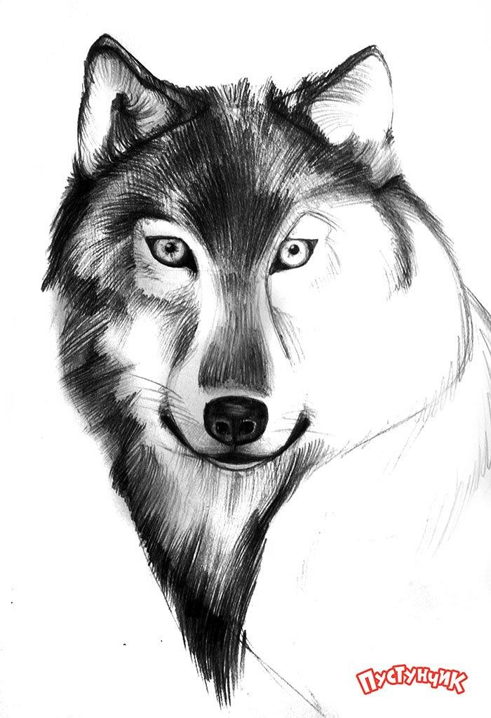 Як намалювати вовка крок за кроком, фото 6