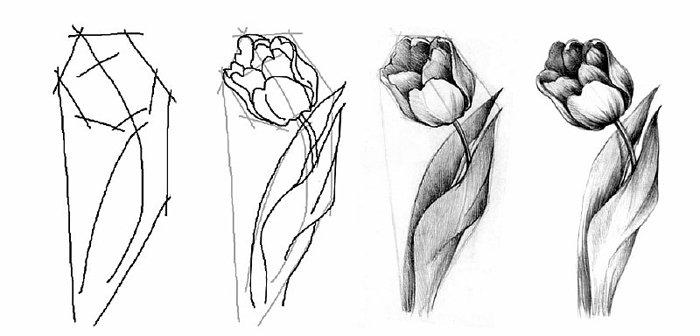 Як намалювати тюльпани Схема 4