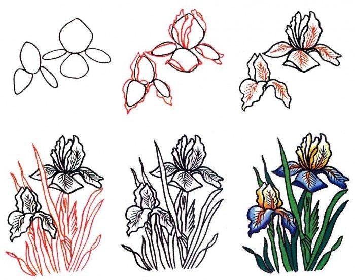 Как нарисовать цветок - Ирис, фото