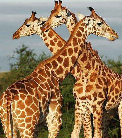 Як намалювати жирафа поетапно, фото 1