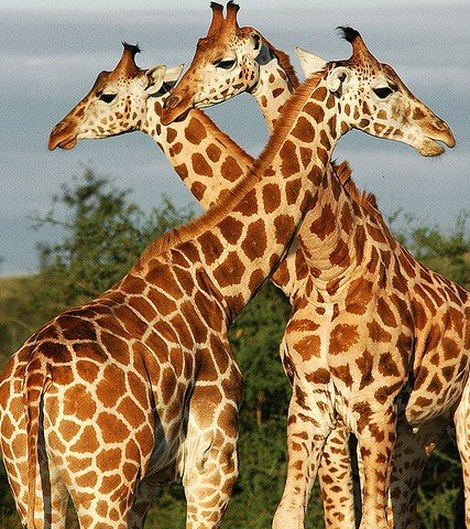 Как нарисовать жирафа поэтапно, фото 1