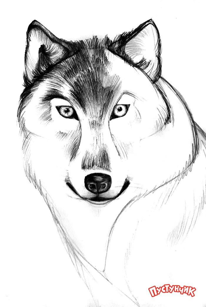 Как нарисовать волка поэтапно, фото 5