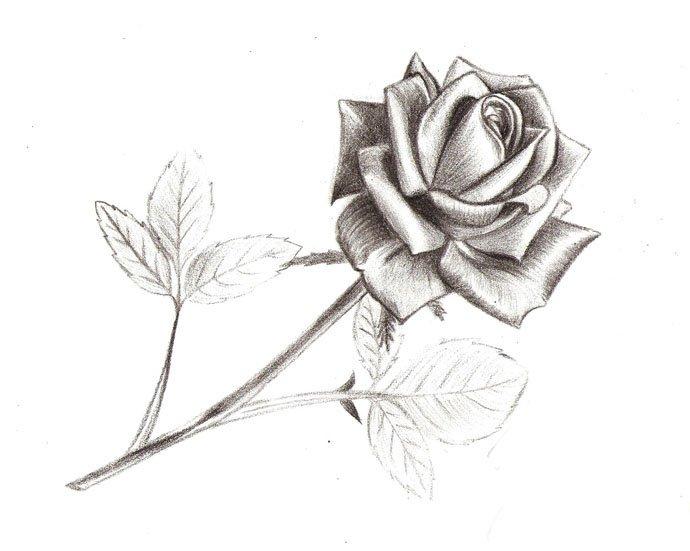 Как нарисовать розу шаг за шагом – схема, фото 15