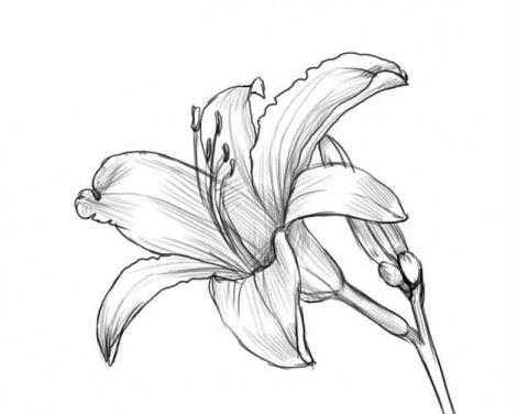 Рисуем лилию карандашом