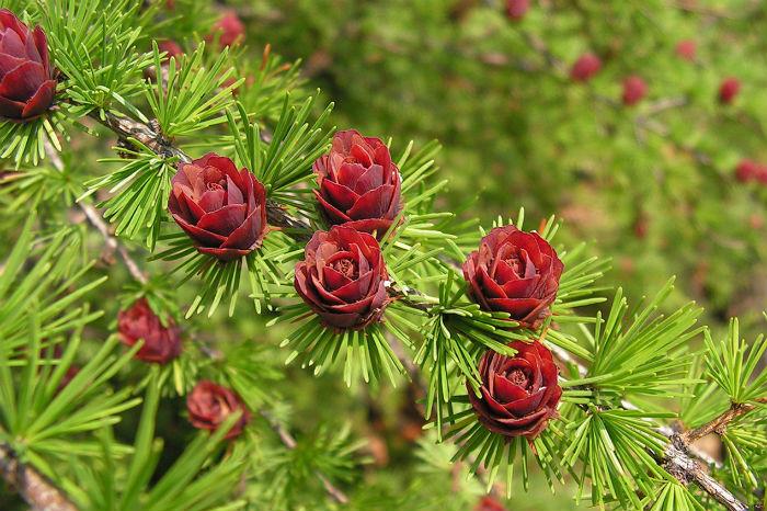 Шишки лиственницы напоминают розы
