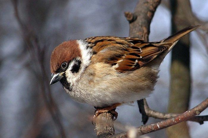 Зимующие птицы Украины, фото 3
