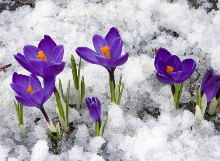 Первоцветы Украины - фото 2