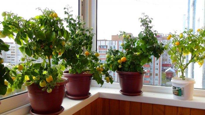 Мини-огород на балконе своими руками - фото 22