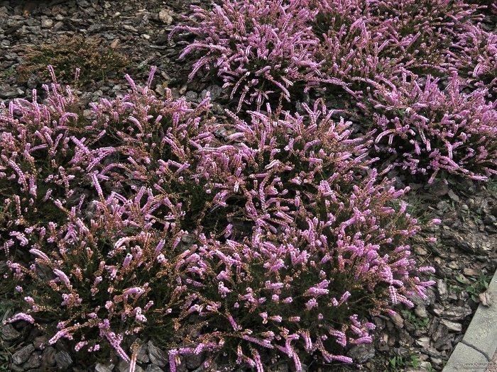Рослина Верес звичайний, фото 8
