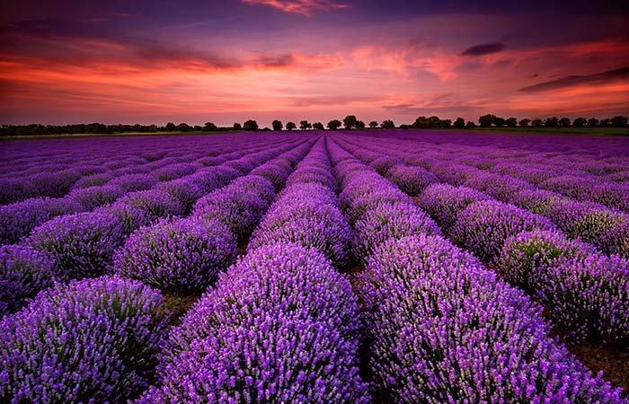 Лавандові поля, Франція