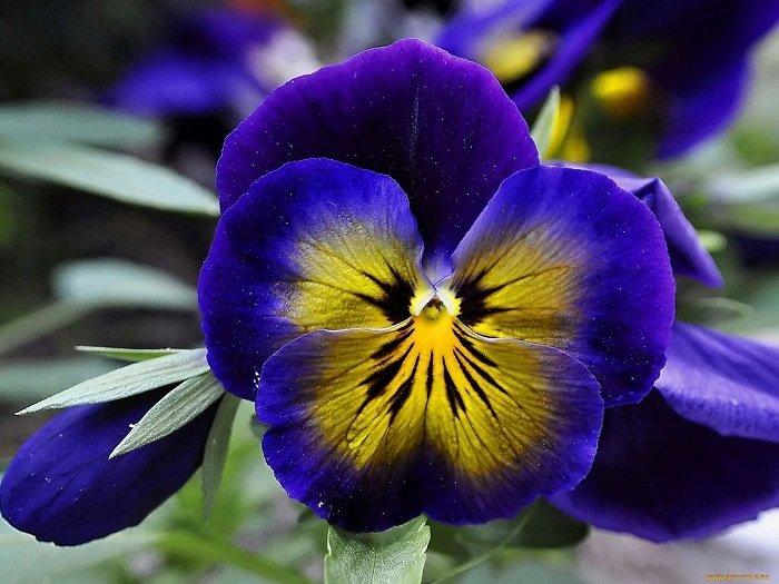 Фото белая хризантема