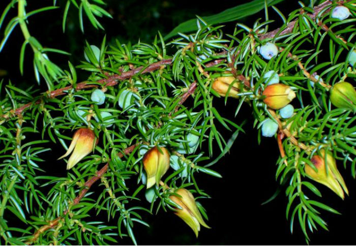 Как цветет можжевельник