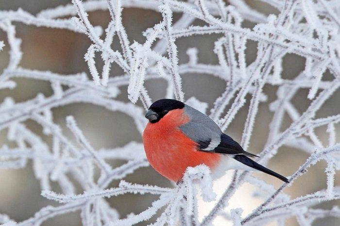 Зимующие птицы Украины, фото 2