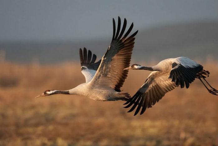 Птица журавль фото и описание