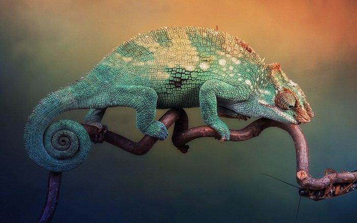 Интересно о хамелеонах