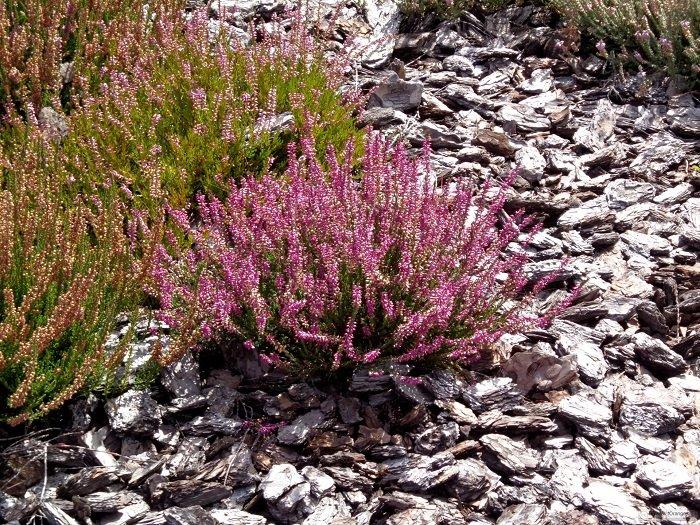 Рослина Верес звичайний, фото 3