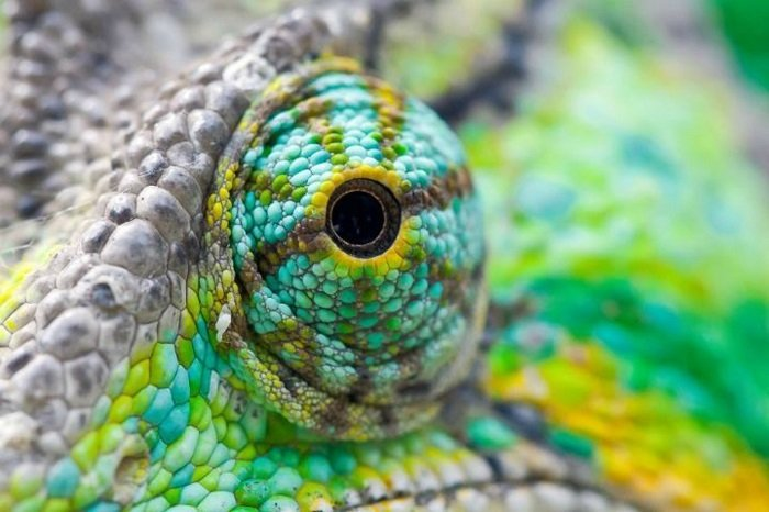Цікаво про хамелеонів