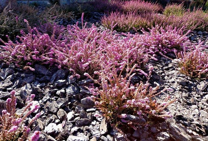 Рослина Верес звичайний, фото 2