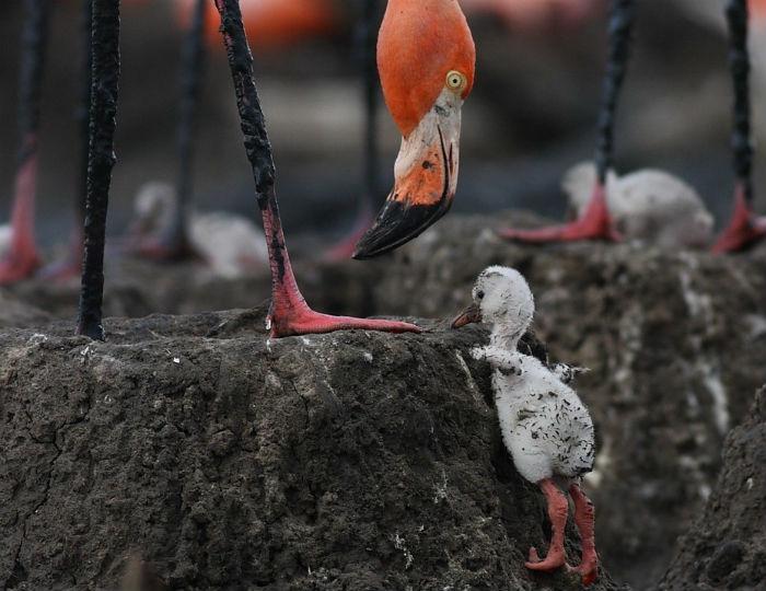 Гнездо фламинго
