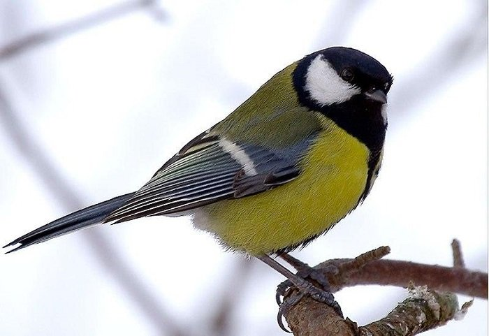 Зимующие птицы Украины, фото 1