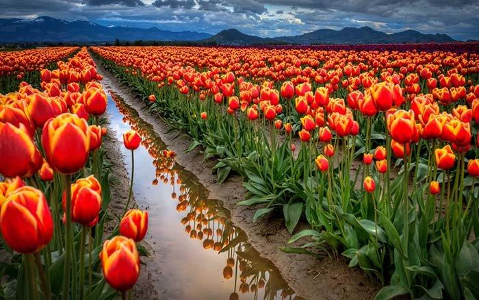 Тюльпанові поля, Нідерланди