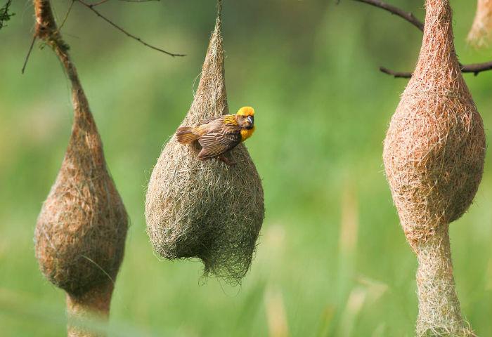 Гнезда ткачей