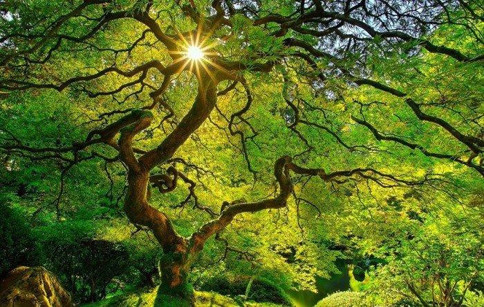 Японский дланевидный клен весной