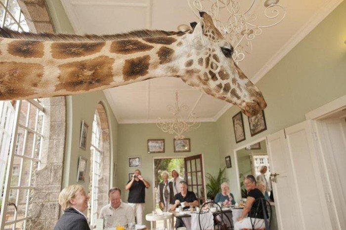 Жирафы Ротшильда, отель Giraffe Manor в Найроби (Кения) - фото 9